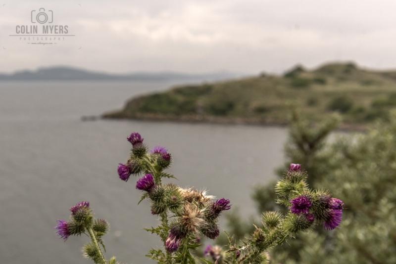 26 Inchcolm Cliffs & Thistles